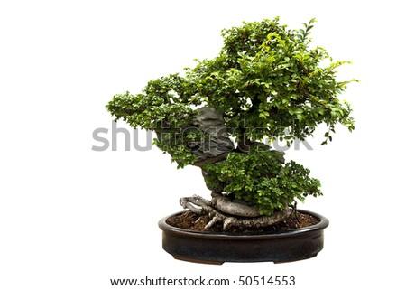Nice bonsai tree isolated on a white background. - stock photo