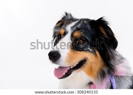 nice border collie in front of white background - stock photo