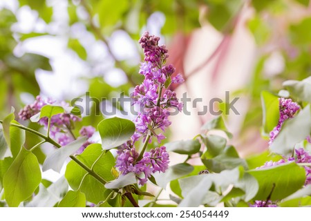 Nice branch of lilac in sunny spring day - stock photo