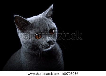 Nice british cat is isolated on a black background. - stock photo