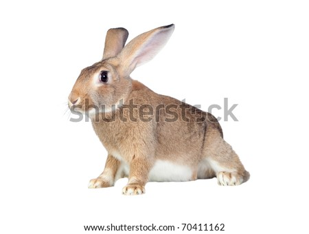 Nice brown bunny isolated on white side - stock photo
