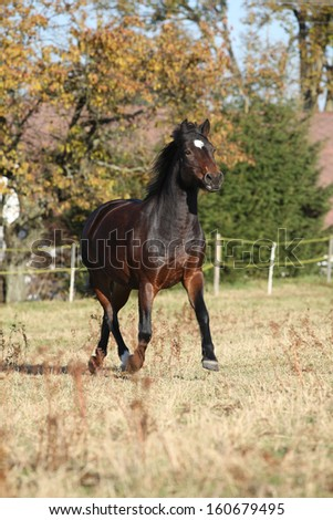 Nice brown pony running on pasturage in autumn