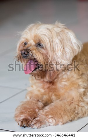 nice brown shih tzu