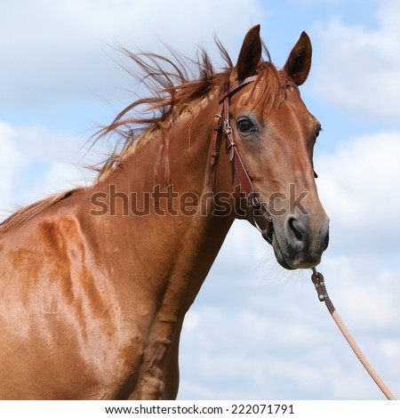 Nice Budyonny horse with bridle standing on meadow