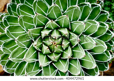 Nice cactus of the family of succulents / Agave victoriae-reginae Compacta / Symmetry in the Nature - stock photo