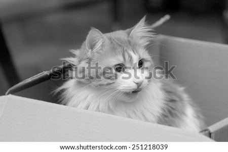 Nice cat in box black and white - stock photo