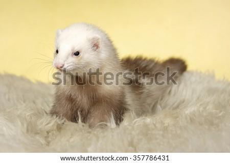 Nice champagne ferret - stock photo