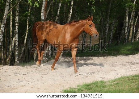 Nice chestnut horse in the sand in hot summer