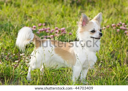 nice chihuahua among green grass and flowers on a sunny summer day - stock photo