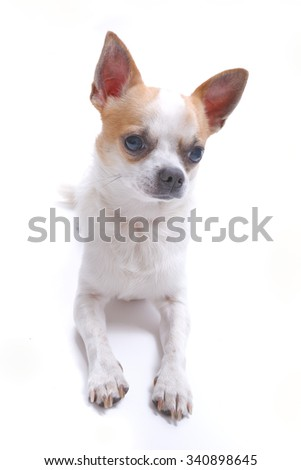 Nice chihuahua dog portrait on white background.