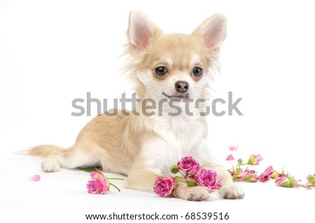 nice chihuahua dog with roses flowers on white background - stock photo
