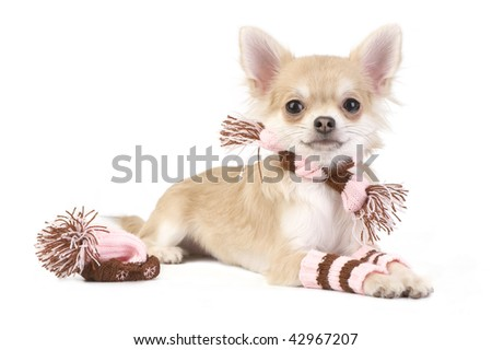 nice chihuahua puppy with knitted set isolated on white background - stock photo