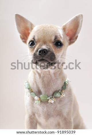 nice Chihuahua puppy with natural semi-precious stones necklace portrait on neutral background