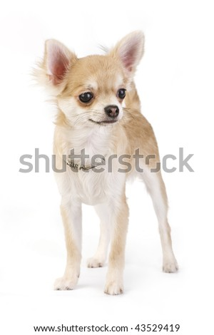 nice chihuahua puppy with necklace portrait isolated - stock photo