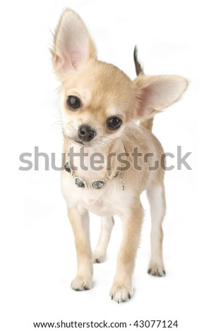nice chihuahua puppy with necklace portrait  isolated on white - stock photo