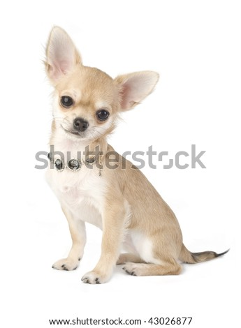 nice chihuahua puppy with necklace portrait  isolated on white background
