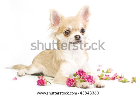 nice chihuahua puppy with roses - stock photo