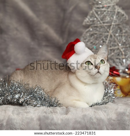 Nice Christmas Burmilla in front of gifts ant other decorations - stock photo