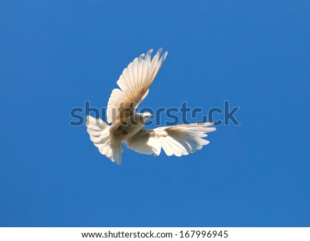 Nice close-up photo of white flying pigeon - stock photo