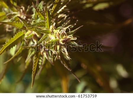 Nice closeup Image Of very Powerful marijuana Purple Haze - stock photo
