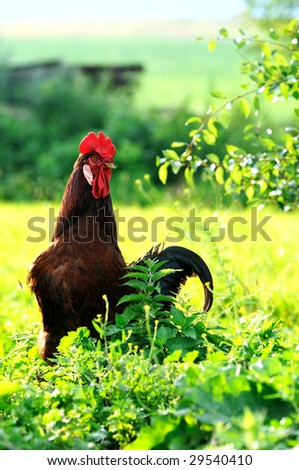 Nice cock in summer village - stock photo