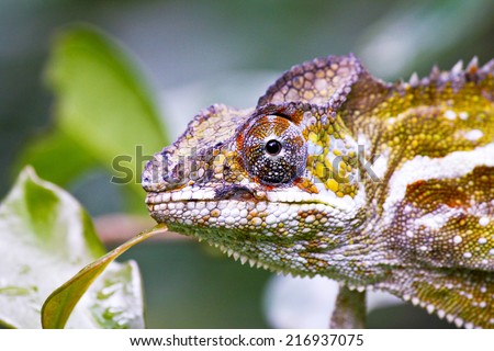 Nice colorful chameleon, cameleon lizard on madagascar - stock photo