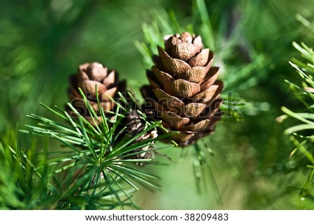 Nice cones on a pine