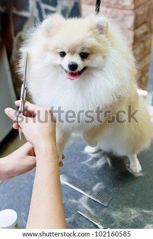 nice cream pomeranian smile is cutting - stock photo