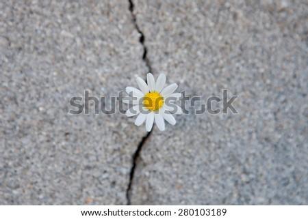 Nice daisy born from a crack in the asphalt - stock photo