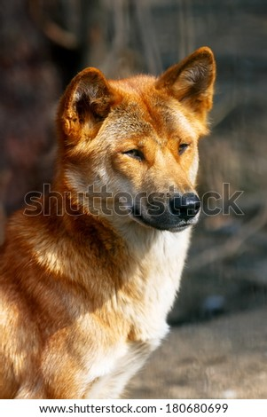 nice ding dog - stock photo