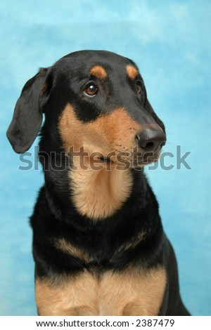 Nice dog on blue background.