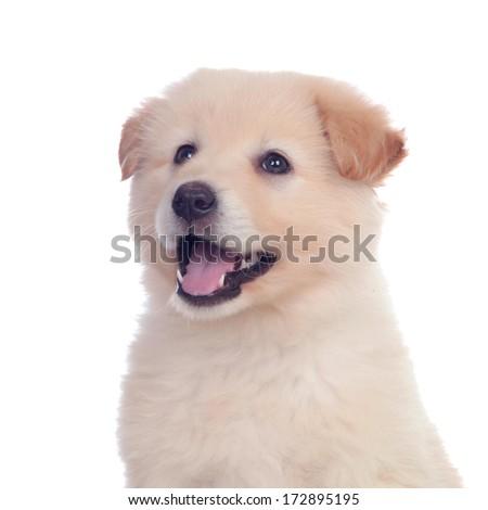 Nice dog with soft white hair yawning isolated - stock photo