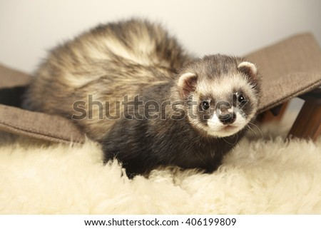 Nice ferret male on lounger - stock photo