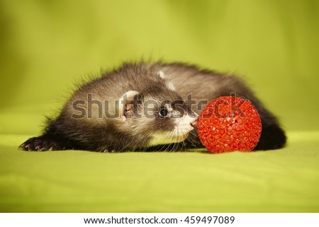 Nice ferret portrait with red toy in studio - stock photo