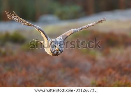 nice flying Great Grey Owl  - stock photo