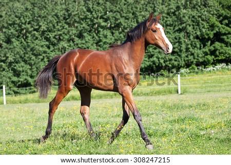 Nice foal running on pasture - stock photo