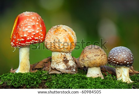 Nice Four toadstools in moss - stock photo