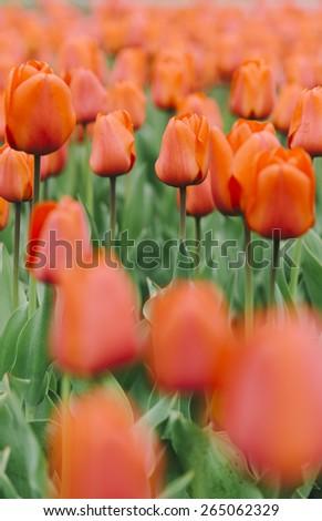 nice fresh tulips, shallow depth of field - stock photo
