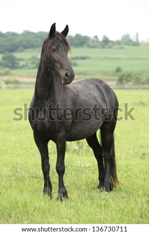 Nice frieasian horse standing on green pasturage