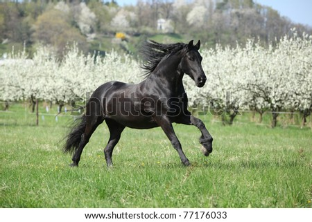 Nice friesian mare running in front of flowering plum trees - stock photo