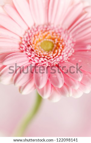 nice gerbera - stock photo