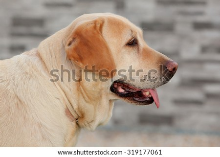 Nice golden labrador dog showing the tongue - stock photo