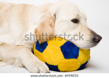nice golden retriever with yellow stuffed ball
