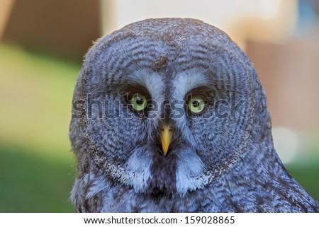 nice Great Grey Owl  - stock photo