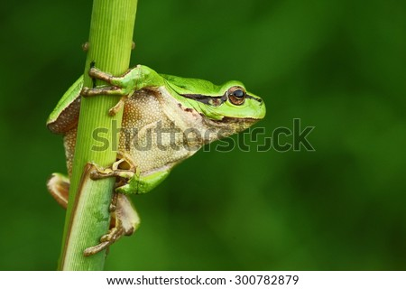 Nice green amphibian European tree frog, Hyla arborea, sitting on grass with clear green background  - stock photo