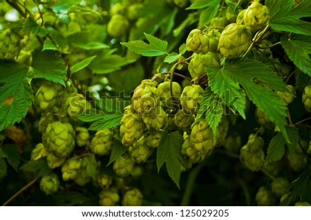 nice green hops before harvesting - stock photo