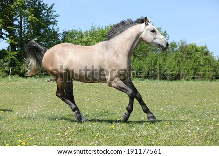 Nice grey horse running on spring pasturage