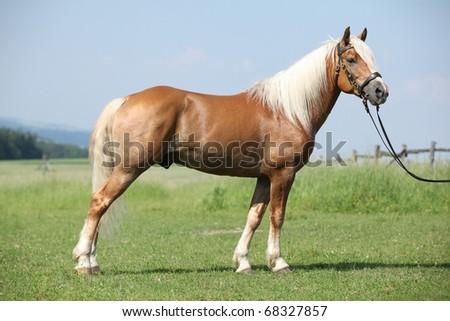 Nice Haflinger stallion looking - stock photo