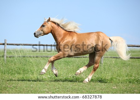 Nice Haflinger stallion running - stock photo