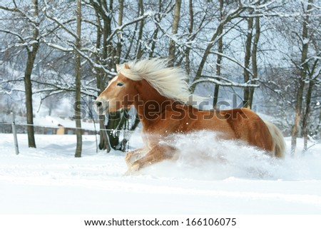 Nice haflinger with long blond mane running in the snow